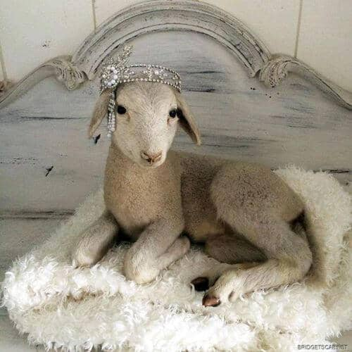 sheep baby crown
